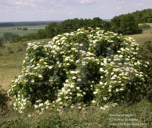 thomas schoepke plant image gallery adoxaceae. Black Bedroom Furniture Sets. Home Design Ideas