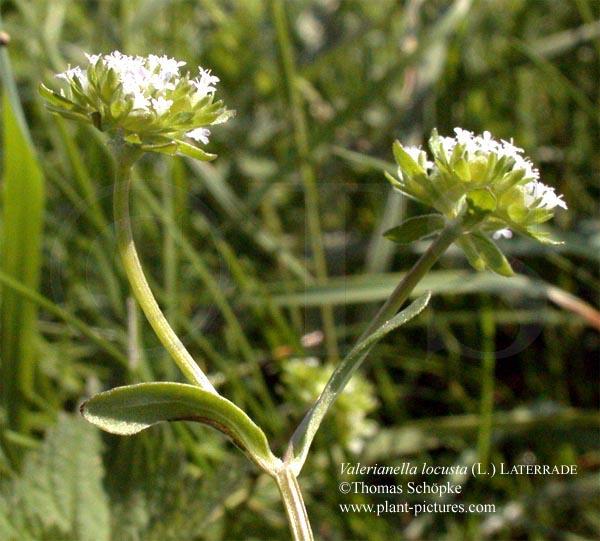 rapunzel pflanze variabel