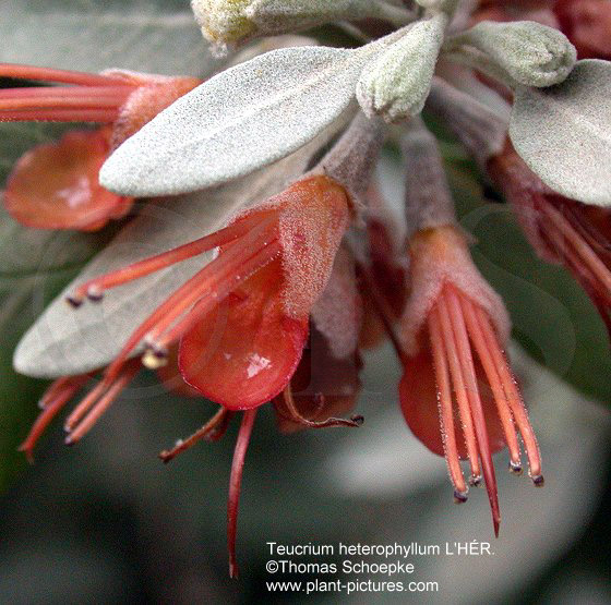 thomas schoepke plant image gallery lamiaceae. Black Bedroom Furniture Sets. Home Design Ideas