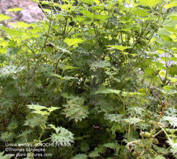 thomas schoepke plant image gallery urticaceae. Black Bedroom Furniture Sets. Home Design Ideas