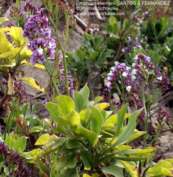 thomas schoepke plant image gallery plumbaginaceae. Black Bedroom Furniture Sets. Home Design Ideas
