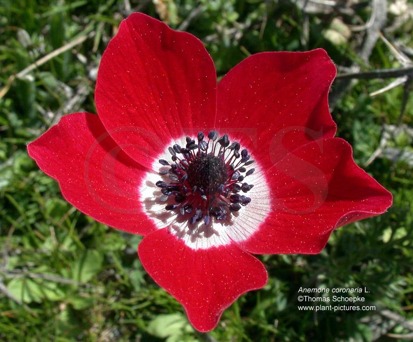 anemonen pflanzen wie rum