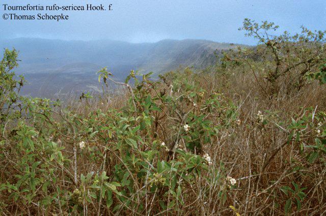 Teakbaum blatt  Thomas Schoepke Plant Image Gallery - Verbenaceae